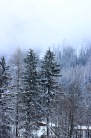 The snowy trees in Chamonix.